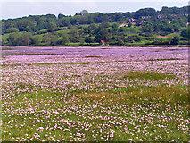 NX8356 : Sea Pinks on merse land by Ed Iglehart
