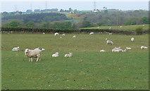 SH5968 : Grazing sheep, south east of Glasinfryn by Eirian Evans