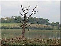 SK8805 : Dead tree from Waderscrape bird hide by Steve  Fareham