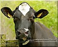 J3268 : Cattle, Minnowburn near Belfast (2) by Albert Bridge