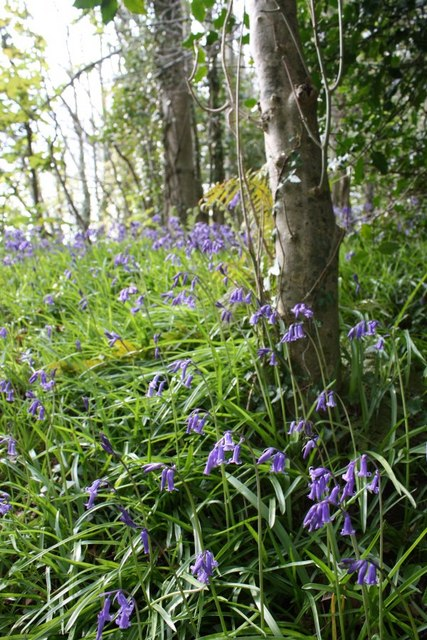 Bluebells up coach road