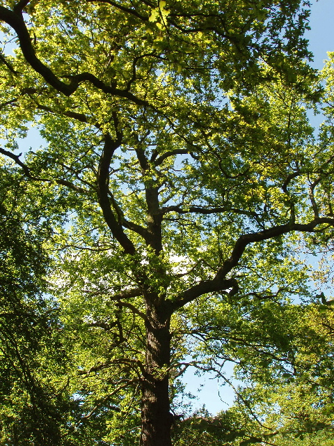 Ash trees in Perivale Wood