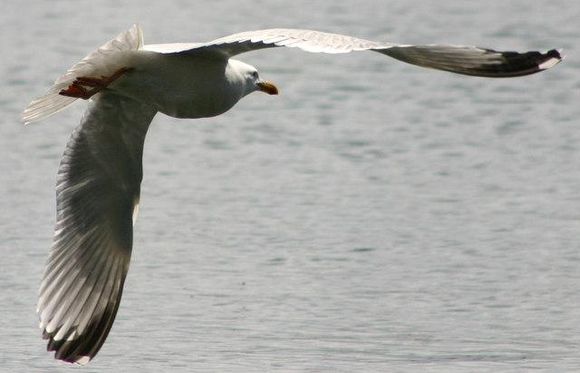 Herring Gull at Loe Beach