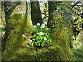 NS3680 : Wood-sorrel (Oxalis acetosella) by Lairich Rig
