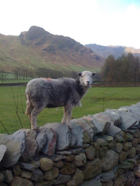 Sheep in Great Langdale