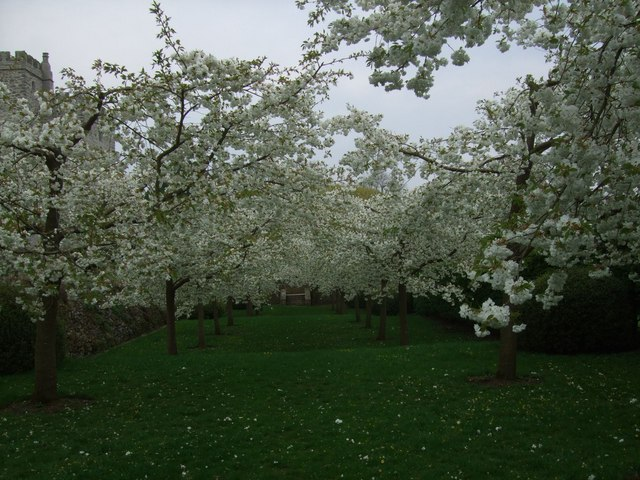 Cherry blossom at Sizergh Castle