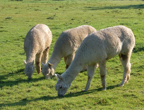 Toft Alpacas (2)