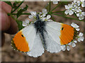 TL4354 : Orange Tip (Anthocharis cardamines) by Keith Edkins