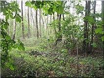 SO5563 : Woodland, Leysters by Richard Webb