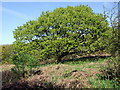 SN0836 : Oak with young foliage, Coed Ty-canol by ceridwen