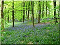 SP8809 : Bluebells in profusion in the woods by Chris Reynolds