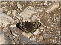 D0636 : Speckled Wood butterfly by Willie Duffin