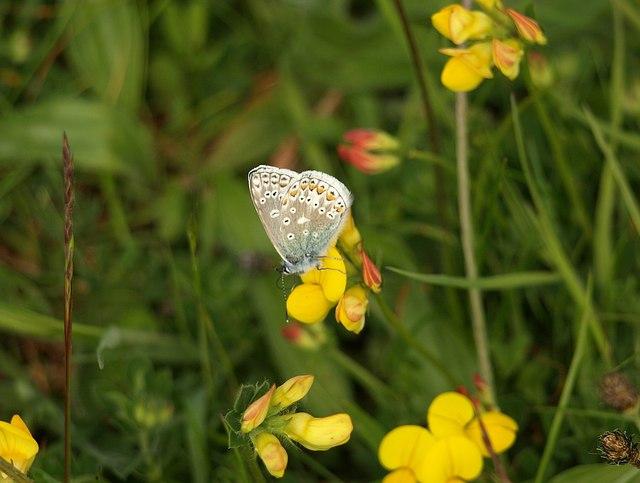 Butterfly, Barton tip