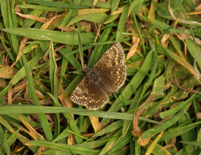 Butterfly, Barton tip