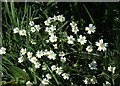 SJ8440 : Greater Stitchwort by Simon Huguet