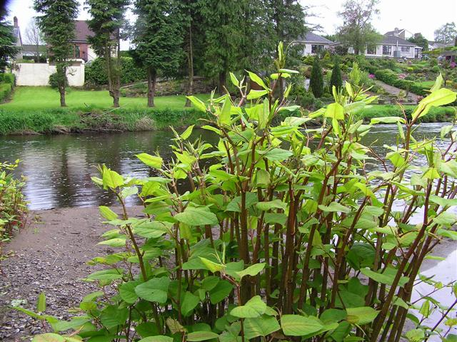 Japanese Knotweed, Cranny