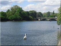 TQ2780 : Swan on the Serpentine (1) by Peter S