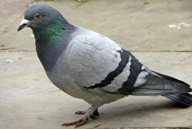 Rock Dove (Feral Pigeon) (Columba livia)