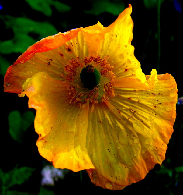 Welsh Poppy (Meconopsis cambrica)