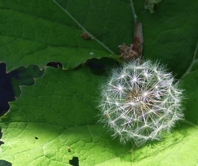 Dandelion on a butterbur leaf