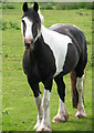 TG1324 : Piebald horse by Evelyn Simak