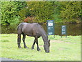 NU2405 : One of the horses grazing by the footpath near Warkworth Hermitage by pam fray