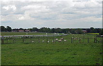 TA0139 : Beverley Racecourse with Grazing Sheep by David Wright