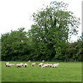 TF7118 : Sheep in rough grazing west of Gayton by Andy F