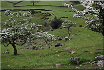 NY1807 : Sheep grazing  amongst the blossom, Wasdale by N Chadwick