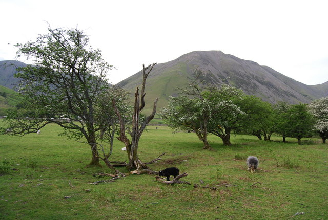 Sheep grazing in Upper Wasdale (4)