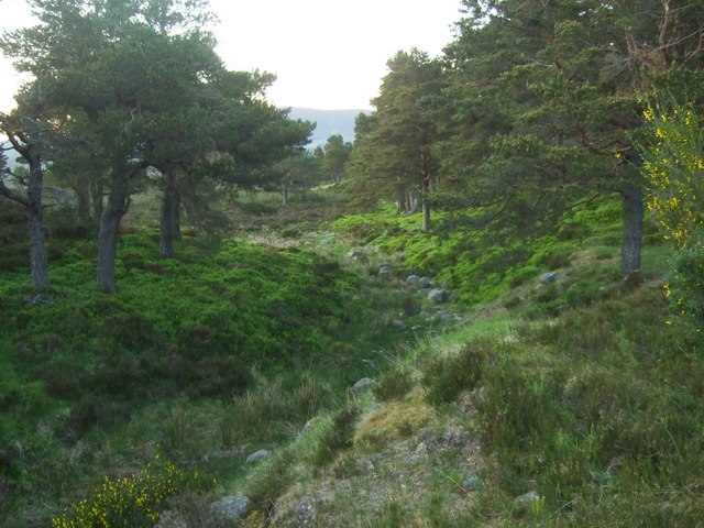Caledonian pine forest.