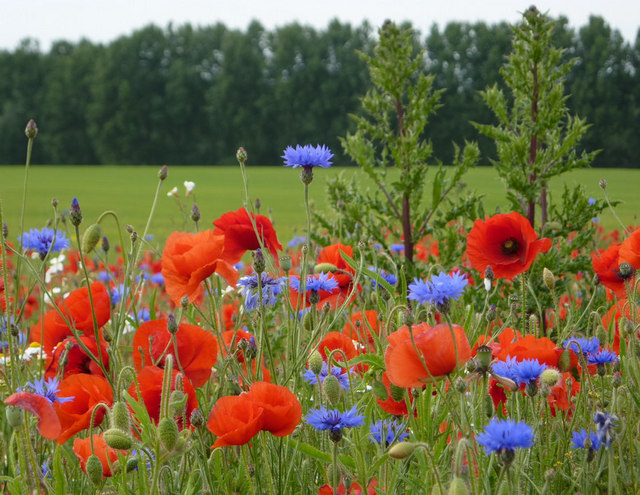 Close-up of poppies and cornflowers