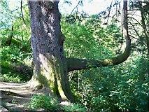 NY4020 : Unusual Tree near Aira Force by Peter Johnson