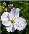 NF8274 : Cuckoo Flower or Lady's Smock (Cardamine pratensis) by Anne Burgess