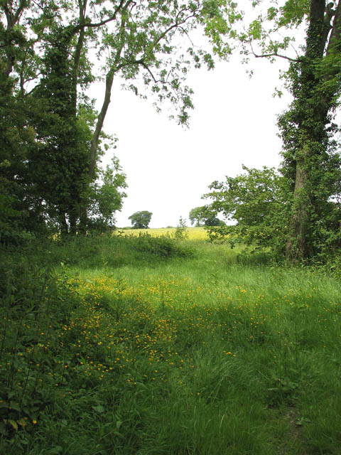 Buttercups on the northern edge of Furze Grove