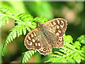 SD7117 : Speckled Wood (female) Butterfly by John Tustin