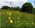 J3268 : Wildflower meadow, Barnett Demesne by Rossographer