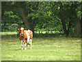 TG1904 : Brown and white cow in pasture by Evelyn Simak