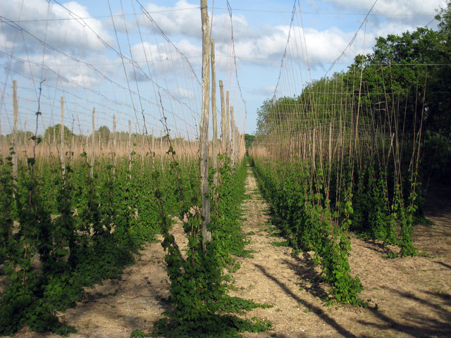 Hop Garden, Hoad's Farm - May