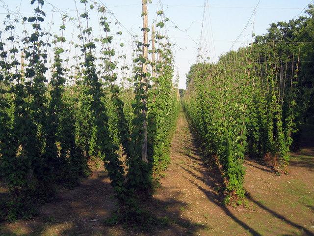 Hop Garden, Hoad's Farm - June