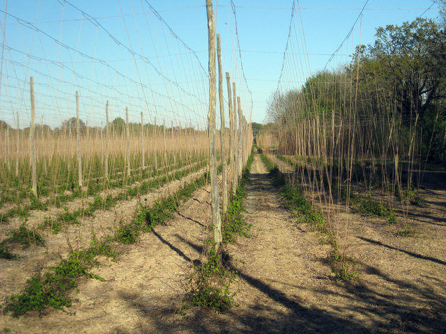 Hop Garden, Hoad's Farm - April