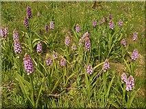 SX9066 : Southern marsh orchids, former Barton tip by Derek Harper