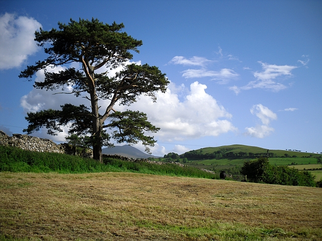 Lonesome pine, Uldale