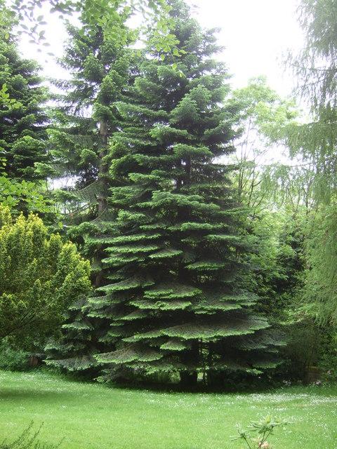 Fir tree at Milton Morenish
