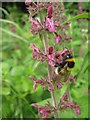 TQ4964 : Bee on Hedge Woundwort by David Anstiss