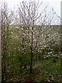SE9236 : Cherry trees in blossom along Swin Dale by Dr Patty McAlpin