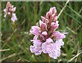 NF7928 : Heath-spotted orchid by Barbara Carr