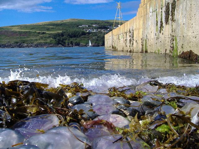 Jellyfish on Port Erin shore