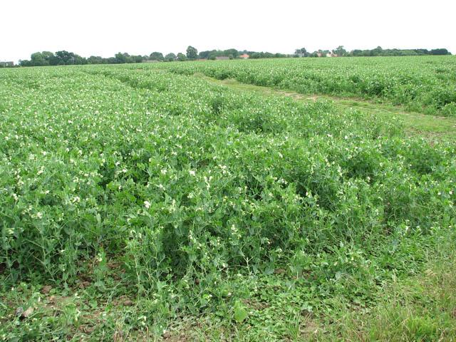 A crop of peas