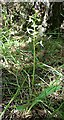 NJ3265 : Lesser Butterfly Orchid (Platanthera bifolia) by Anne Burgess